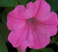 Pink Wave Petunia Picture