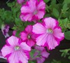 Raspberry Blast Supertunia Petunia Picture