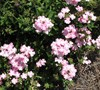 Aztec Light Pink Verbena