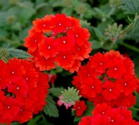 Aztec Red Verbena Picture