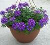 Aztec Purple Verbena