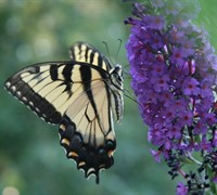 Nanho Purple Butterfly Bush Picture