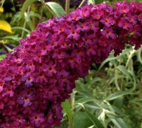 Royal Red Butterfly Bush Picture
