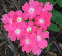Roccoco Pink Verbena Picture