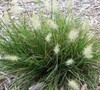 Little Bunny Dwarf Fountain Grass