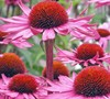 Magnus Purple Coneflower Picture