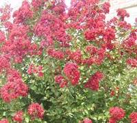 Country Red Crape Myrtle Picture