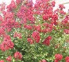 Country Red Crape Myrtle