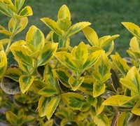 Emerald N Gold Euonymus Picture