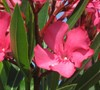 Calypso Oleander