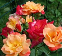 Joseph's Coat Climbing Rose Picture