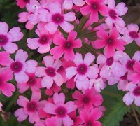 Lanai Bright Eye Verbena Picture