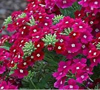 Aztec Raspberry Verbena Picture