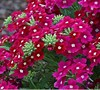 Aztec Raspberry Verbena