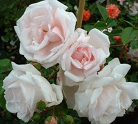 New Dawn Climbing Rose Picture