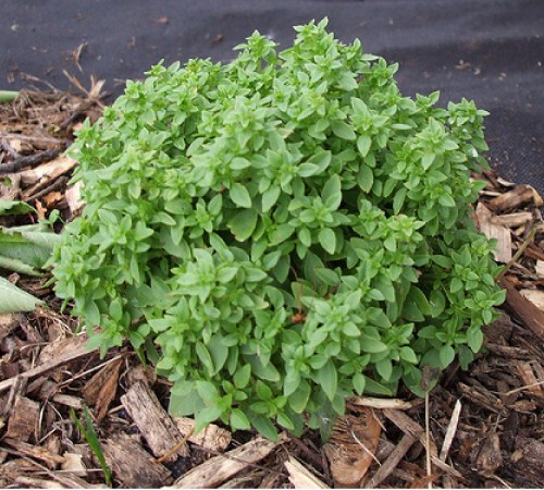 Picture of Spicy Globe Basil
