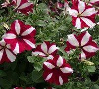 Burgandy Star Wave Petunia Picture
