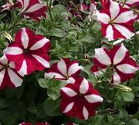 Burgandy Star Wave Petunia Picture