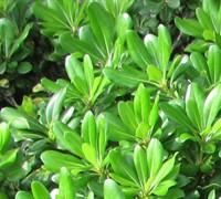 Green Pittosporum Picture