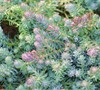 Blue Spruce Sedum
