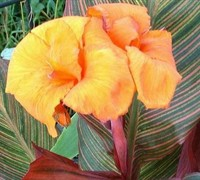 Tropicanna Canna Picture