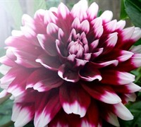 Dinnerplate Dahlia 'Mystery Day' Picture