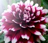 Dinnerplate Dahlia 'Mystery Day'
