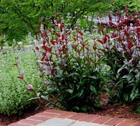 Huskers Red Penstemon Picture