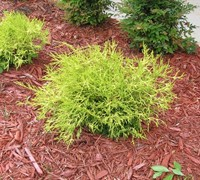 Japanese False Cypress Picture