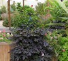 Blackie Sweet Potato Vine