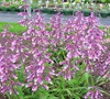 Prarie Twilight Penstemon