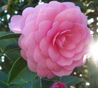 Common Camellia Picture