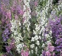Serena Mix Angelonia Picture