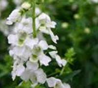 Angel Face White Angelonia Picture