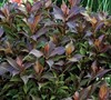 Shining Sensation Weigela Picture