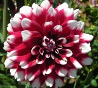 Formal Decorative Dahlia 'Duet' Picture