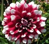 Formal Decorative Dahlia 'Duet'