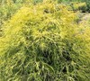 Sungold Thread Branch Cypress Picture
