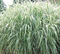 Cosmopolitan Grass Picture