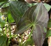 Arrowhead Plant