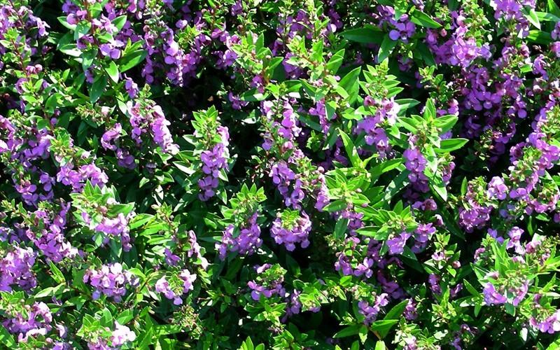 Dark Lavender Angelmist Angelonia