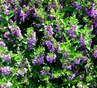 Dark Lavender Angelmist Angelonia Picture