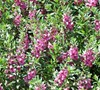 Dark Rose Angelonia