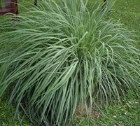 Lemon Grass Picture