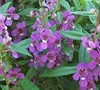Orchid Angelmist Angelonia