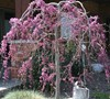 Lavender Twist Weeping Redbud Picture