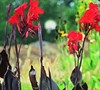 Black Knight Canna Lily