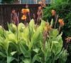 Pretoria Canna Lily