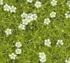 Pearlwort Irish Moss