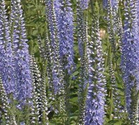 Spike Speedwell 'Twilight' Picture